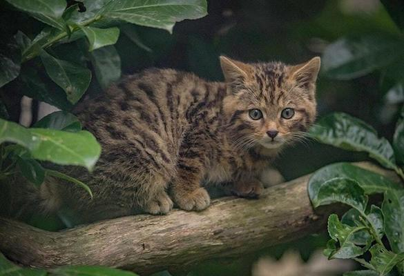 Will Wildcats be reared for release in England and Wales?